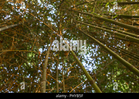Bamboo garden. Bamboo forest natural green background. Selective focus - Stock Image