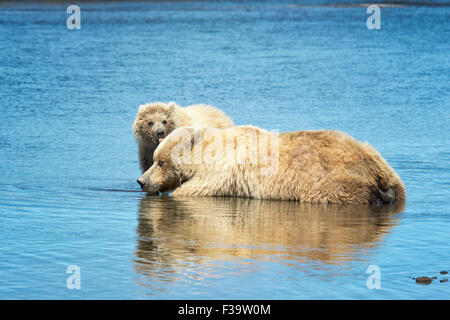 Cute Grizzly Bear Spring Cub, Ursus arctos, licking its mother, Lake Clark National Park, Alaska, USA - Stock Image