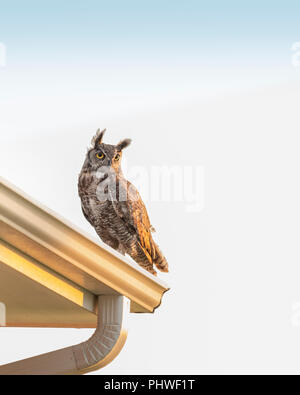 An adult male Great Horned Owl, Bubo virginianus, perched on the roof of a house in Oklahoma, USA. - Stock Image