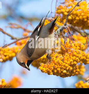 A single Waxwing feeding on a large cluster of yellow berries on a rowan tree - Stock Image