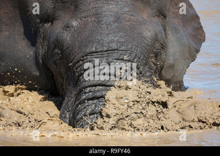 African elephant (Loxodonta africana) bathing, Addo elephant national park, Eastern Cape, South Africa - Stock Image