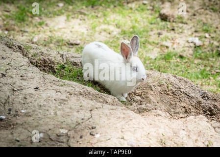 Portrait of white small fluffy rabbit stands on soil in sunny day. - Stock Image