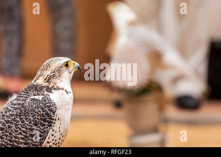 Falcon raptor bird of prey - Stock Image