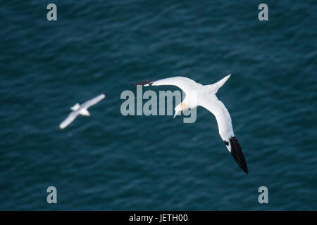 Adult Northern gannet, Morus bassanus, with Kittiwake in background, flying near Bempton Cliffs, Yorkshire, England, - Stock Image