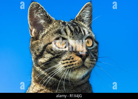 The head of a tabby cat isolated against a vibrant blue background. - Stock Image
