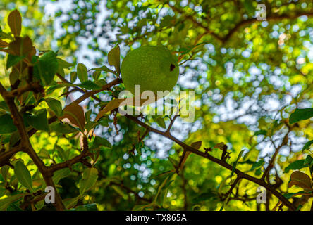 Italy Piedmont Turin Valentino botanical garden - Quinche - Cydonia oblonga - Stock Image