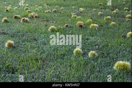 Spiky green fruit from a sycamore tree laying across green grass. - Stock Image