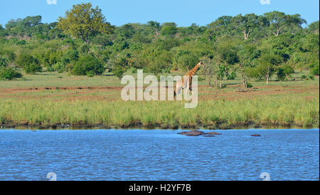 Giraffe walking along  water hole to find suitable 'crocodile free' entry near Lower Sabie Rest Camp , Kruger - Stock Image