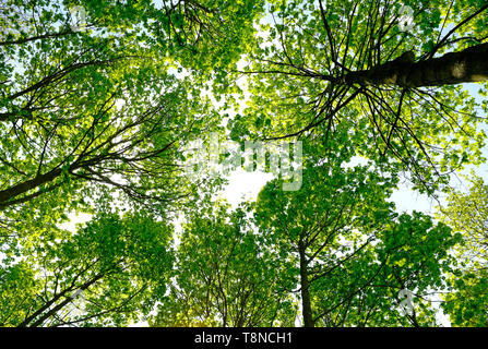looking up viewpoint of trees in woodland setting, norfolk, england - Stock Image