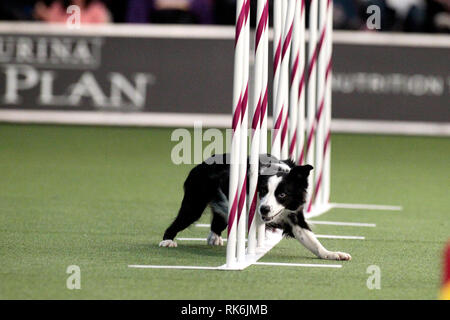 New York, USA. 9th Feb 2019. Pink, A Border Collie, competing in the preliminaries of the Westminster Kennel Club's Master's Agility Championship. Credit: Adam Stoltman/Alamy Live News - Stock Image
