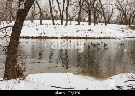 Waterfowl gathered in a pond and on shore after a late winter snow. Sedgwick county park, Wichita, Kansas, USA. - Stock Image