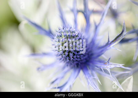 botany, decorative thistle, Additional-Rights-Clearance-Info-Not-Available - Stock Image
