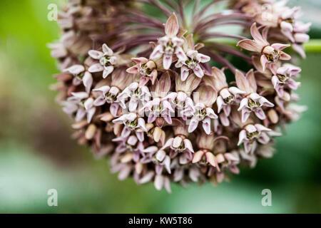 Showy Milkweed, Asclepias speciosa - Stock Image