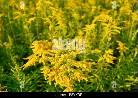 Fields of flowering, beautiful yellow Goldenrod in countryside prairie Pepin, Wisconsin, USA - Stock Image