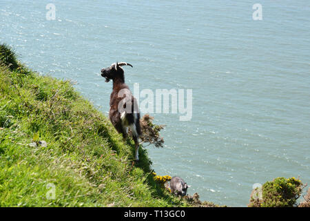 Goats in the Valley of the Rocks, near Lynton and Lynmouth, Devon, UK - Stock Image