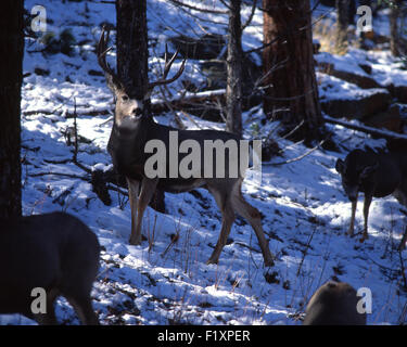 Deer Mules Winter - Stock Image