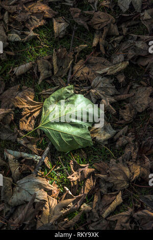 Sycamore Acer leaves lying on the ground at the start of the Autumn season. - Stock Image