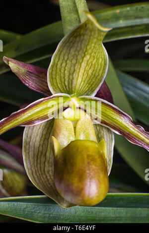 lady slipper orchid macro in nature - Stock Image