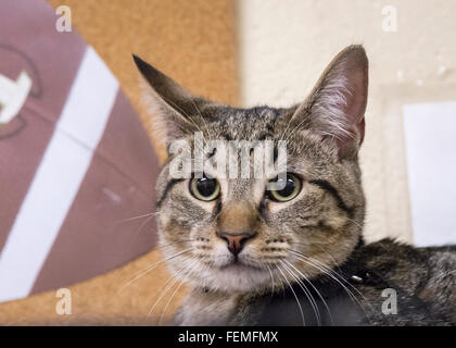 Wantagh, New York, USA. 7th February 2016. Tiger the tabby cat, one of the team players in the Hallmark Channel - Stock Image