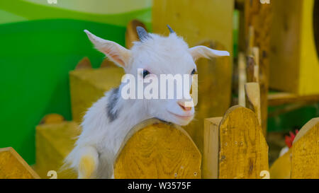 Goat looks around from wooden fence on farm - Stock Image