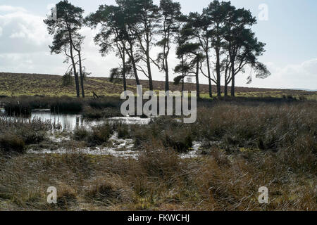Trees The Begwns, Wales, UK. National Trust, Colour, Horizontal,common, Wildlife, upland, Clyro, Painscastle, colour, - Stock Image