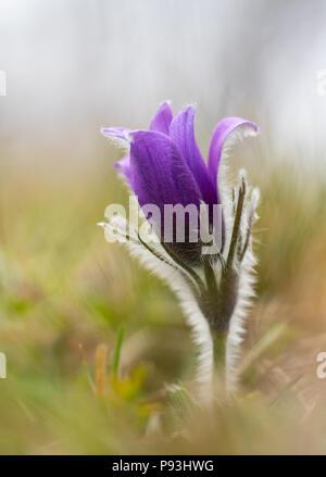 Pasque Flower - Stock Image