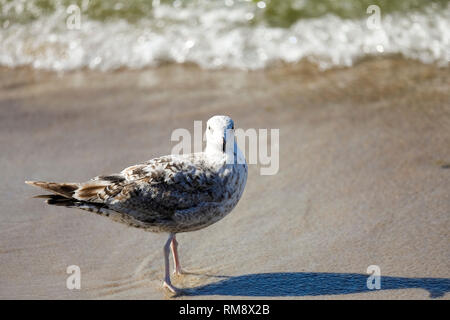 A seabird observes the coastal area. It is a scenery observed at the Baltic Sea coast in Kolobrzeg, Poland. - Stock Image