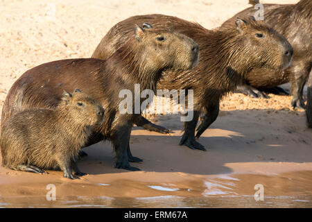 Family of wild Capybaras, Hydrochaeris hydrochaeris, on the bank of a river in the Pantanal, Brazil, South America - Stock Image