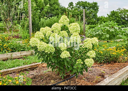 Hydrangea paniculata or panicle hydrangea, also known as a limelight hydrangea blooming in a raised garden. - Stock Image