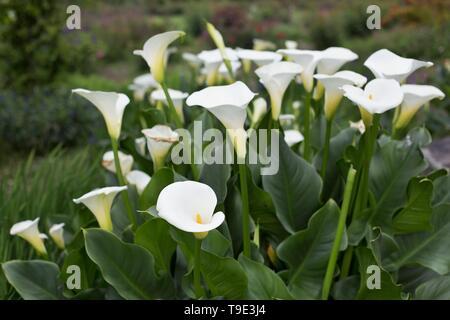 Calla lilies - Zantedeschia aethiopica - at the Owen Rose Garden in Eugene, Oregon, USA. - Stock Image
