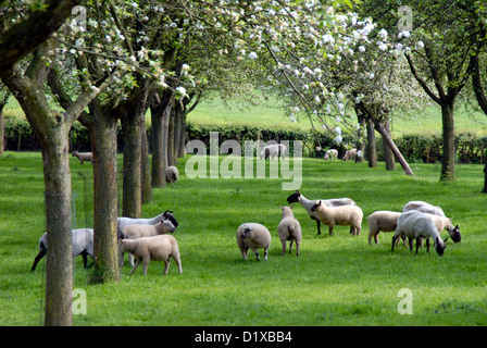 Ewes and lambs in a Herefordshire orchard Uk - Stock Image