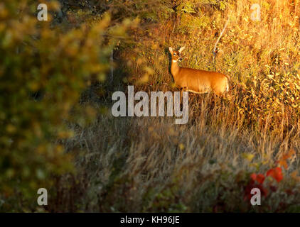 Late-day sun spotlights a white-tailed deer near Sussex, Kings County, New Brunswick, Canada. - Stock Image
