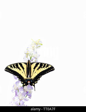 A western tiger swallowtail (Papilio rutulus) with wings spread open - on a white background - Stock Image