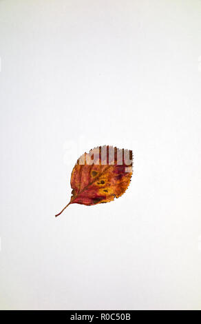 Cockspur leaf top in autumn - Stock Image