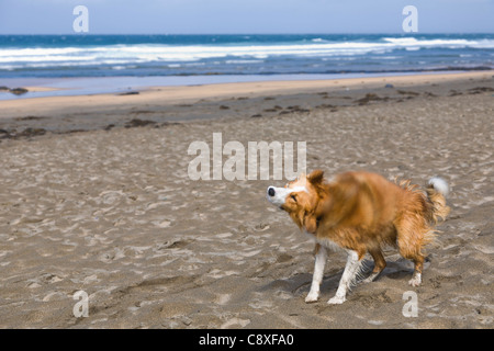 Border collie shaking itself on the beach - Stock Image