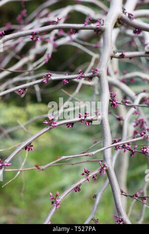 Cercis canadensis 'Ruby Falls' redbud tree at the Oregon Garden in Silverton, Oregon, USA. - Stock Image