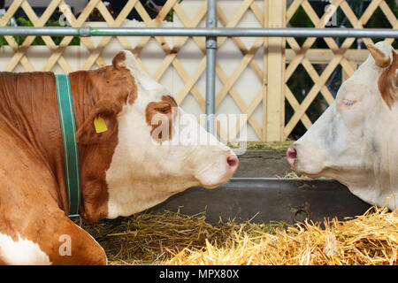 Simmental cow head, a shoulder and a forearm. In a blurry background, there is another head of a Swiss Fleckvieh and a part of a cow barn. - Stock Image