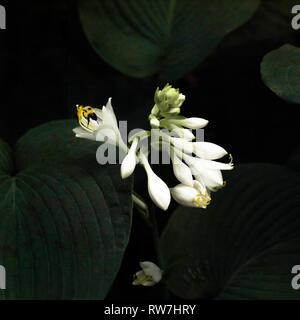 White Hosta Flower and Bee - Stock Image