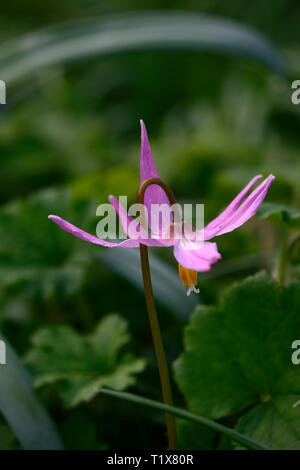 erythronium revolutum knightshayes pink,fawn lily,dogstooth,violet,spring,flowers,flowering,clump,colors,colours,dogs tooth,violet,RM floral - Stock Image