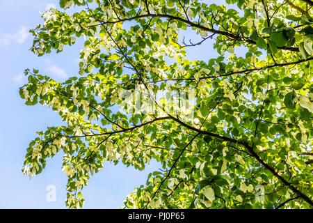 Davidia involucrata, the dove-tree, handkerchief tree, pocket handkerchief tree, ghost tree, handkerchief tree leaves, handkerchief tree flowers, - Stock Image