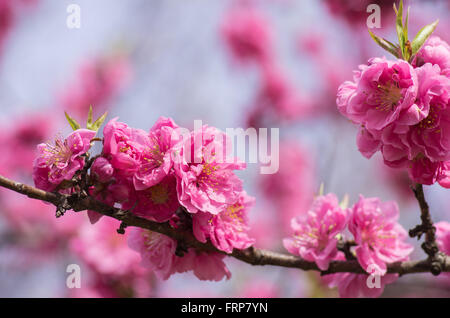 Dark pink filled variety of Cherry Blossoms at Himeji Castle - Stock Image