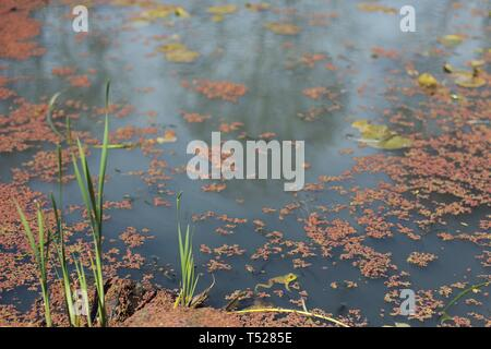 A frog in a pond at the Oregon Garden in Silverton, Oregon, USA. - Stock Image