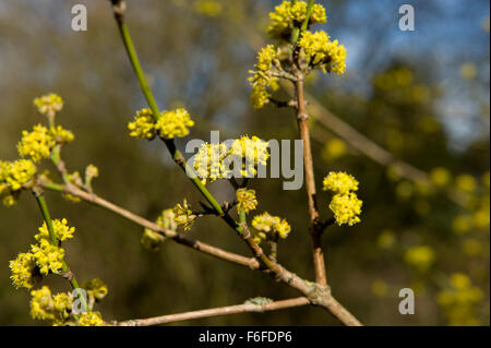 bright tight yellow flower buds on a perennial shrub within the botanical gardens of Edinburgh - Stock Image