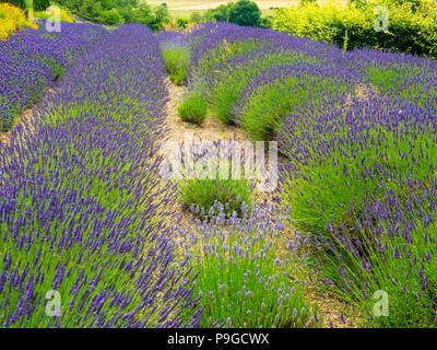 Lavender plants variety Lavandin Grosso as grown in Provence in full bloom at Yorkshire Lavender Terrington York UK - Stock Image