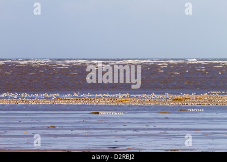 Flock of wading birds at High tide Hoylake Wirral - Stock Image