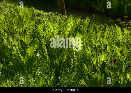 ostrich ferns grow in the forest in germany, matteuccia struthiopteris or fiddlehead fern also called shuttlecock fern in the spring sun with shadow r - Stock Image