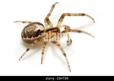 A male Missing sector orb weaver (Zygiella x-notata) on white background. It is part of the family Araneidae. - Stock Image