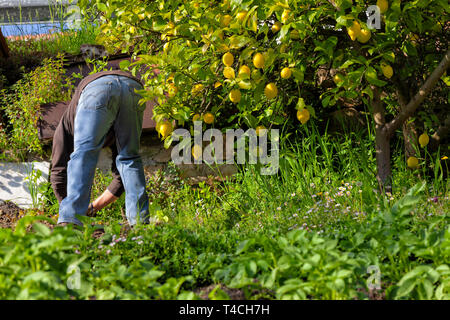 A man cultivating his organic garden of fruits and vegetables. - Stock Image