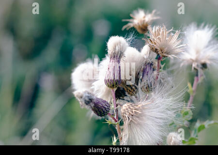 Selective focus, fluffy thistle plants in Hampstead Heath of London during autumn season - Stock Image
