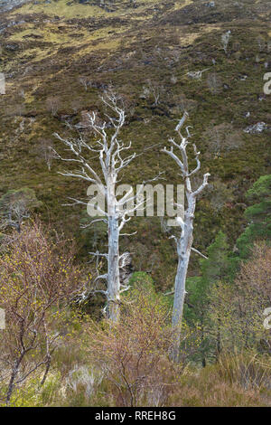 Dead Scots Pines - Pinus sylvestris - remnants of the ancient Caledonian pine forest - Beinn Eighe National Nature Reserve, Scottish Highlands, UK - Stock Image